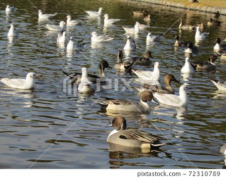 이나 게 해변 공원의 연못에 온 겨울 철새 유리카모메와 고방 오리 72310789
