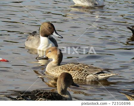 在Inage海灘公園來到池塘的冬季候鳥 72310896