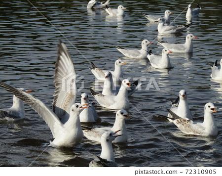 이나 게 해변 공원의 연못에 온 겨울 철새 유리카모메 72310905