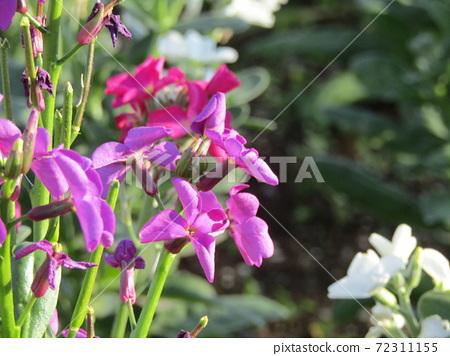 늦가을에서 설 보소의 대표 꽃 스톡 보라색 꽃 72311155