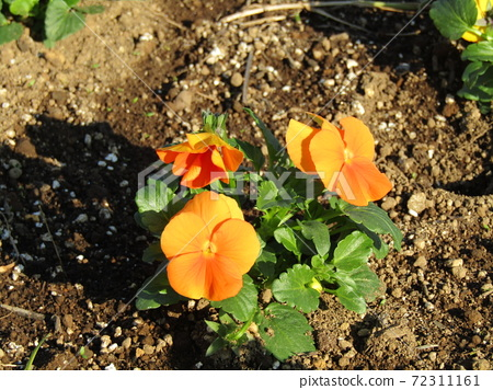 앞으로 정월까지 즐길 비올라 오렌지 꽃 72311161
