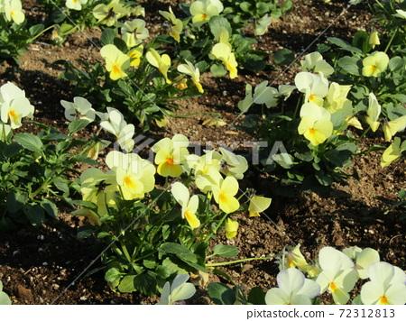 삼양 메데아 꽃 박물관 앞마당 노란 테두리 흰색 비올라 72312813