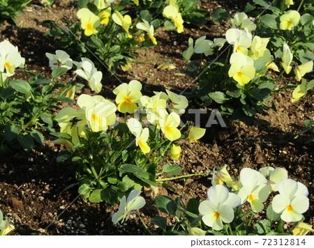 삼양 메데아 꽃 박물관 앞마당 노란 비올라 72312814