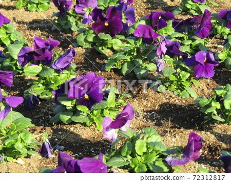 삼양 메데아 꽃 박물관 앞마당 보라색 비올라 72312817