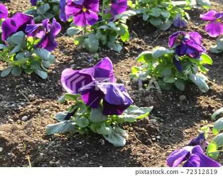 삼양 메데아 꽃 박물관 앞마당 보라색 비올라 72312819
