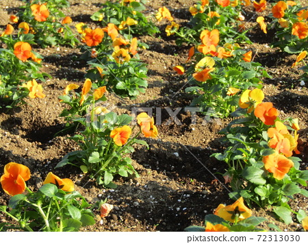 삼양 메데아 꽃 박물관 앞마당 오렌지 비올라 72313030