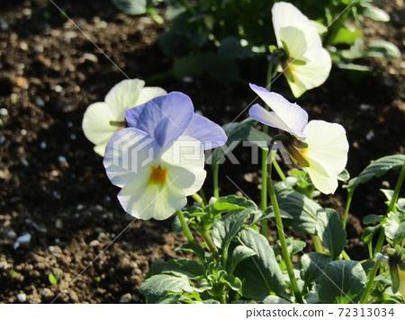 삼양 메데아 꽃 박물관 앞마당의 하늘색과 흰색의 비올라 72313034