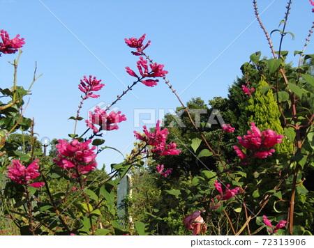 삼양 메데아 꽃 박물관 뒤뜰 빨간 샐비어 인 볼크 라타 꽃 72313906