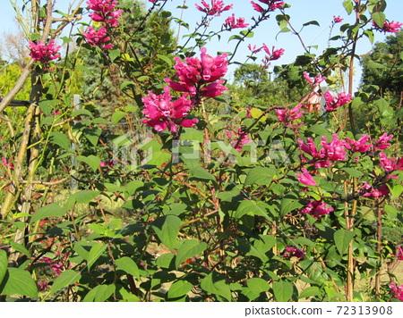 삼양 메데아 꽃 박물관 뒤뜰 빨간 샐비어 볼트 니카의 꽃 72313908