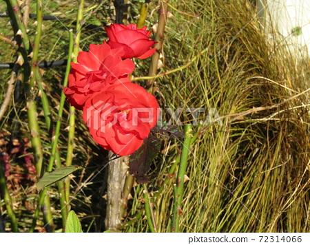 빨간색 예쁜 장미 꽃 72314066