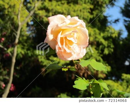 연 분홍빛 예쁜 장미 꽃 72314068