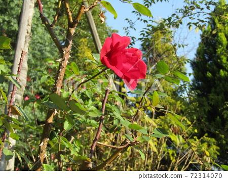빨간색 예쁜 장미 꽃 72314070
