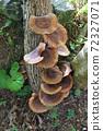 원목 표고 버섯 72327071