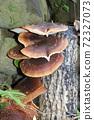 원목 표고 버섯 72327073