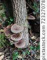 원목 표고 버섯 72327078