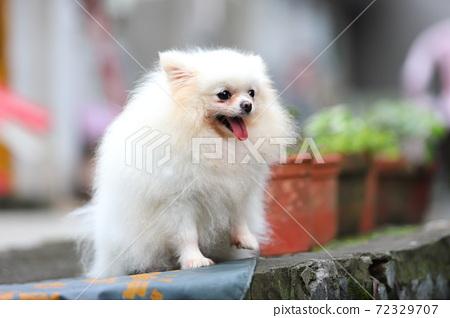 寵物犬小白 72329707