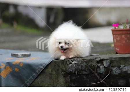 寵物犬小白 72329713