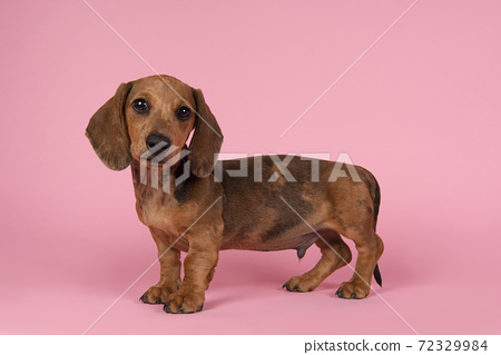 Cute badger dog puppy looking at the camera standing on a pink background seen from the side 72329984