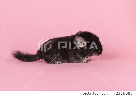 Cute black baby chinchilla together on a pink background seen from the side 72329986