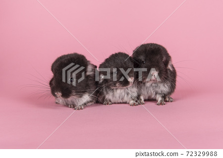 Three cute black baby chinchillas together on a pink background seen from the front 72329988