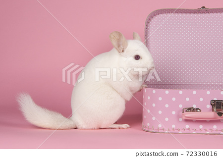 Cute white  chinchilla with a pink suitcase on a pink background 72330016