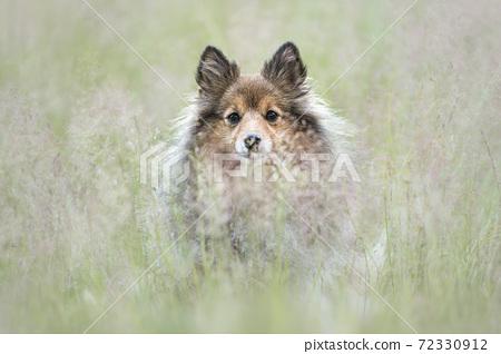 Cute shetland sheepdog sitting behind blooming grass looking at the camera 72330912