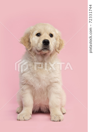 Cute sitting  golden retriever puppy looking up on a pink background seen from the front 72331744