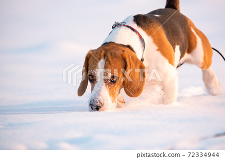 Beagle dog sniffing trail in snow. 72334944