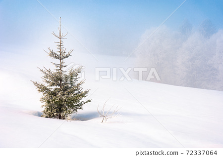 spruce tree in mist on a snow covered hill. fairy tale winter mountain scenery. frosty weather on a sunny morning 72337064