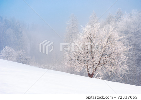 beech tree in mist on a snow covered hill. fairy tale winter mountain scenery. frosty weather on a sunny morning 72337065