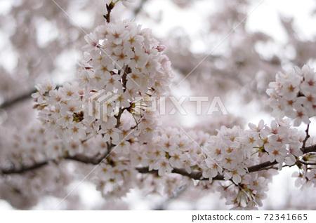 吉野櫻花樹 72341665