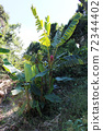 바나나 나무 72344402