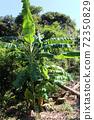 바나나 나무 72350829