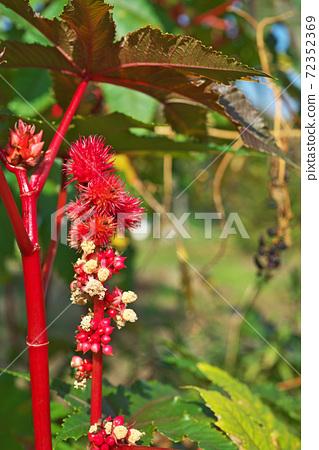 紅芝麻果和鮮花 72352369