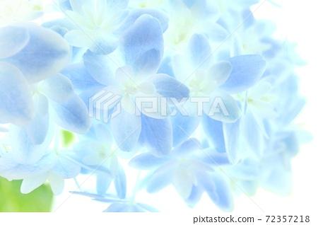 淡藍色繡球Mangekyou品種明亮的背景特寫 72357218