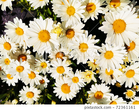 white pyrethrum plant texture 72361161