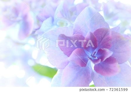 Light purple hydrangea close-up 72361599