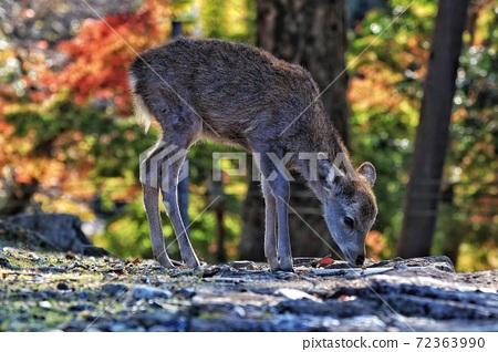 鹿 奈良 動物 72363990