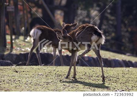 鹿 奈良 動物 72363992
