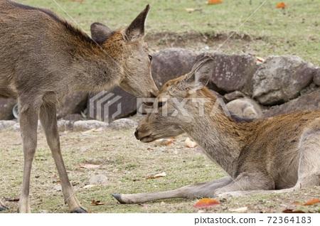 鹿 奈良 動物 72364183
