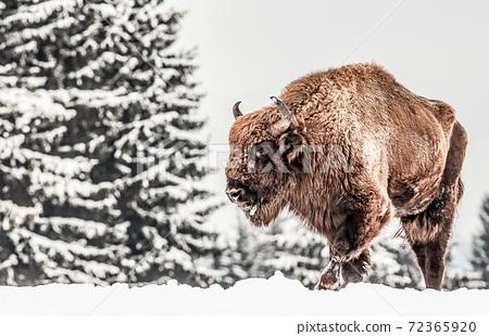 european bison (Bison bonasus) in natural habitat in winter 72365920