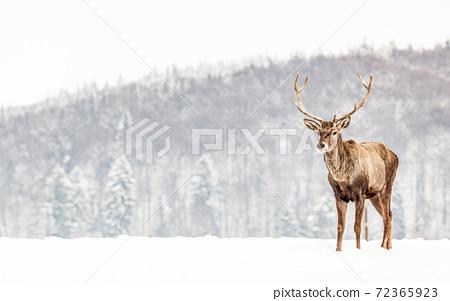 noble deer male in winter snow 72365923