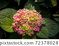 Colorful Hydrangea on blur background. Macro Photography 72378028