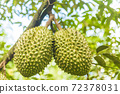 Durian tree, Fresh durian fruit on tree, Durians are the king of fruits, Tropical of asian fruit. 72378031