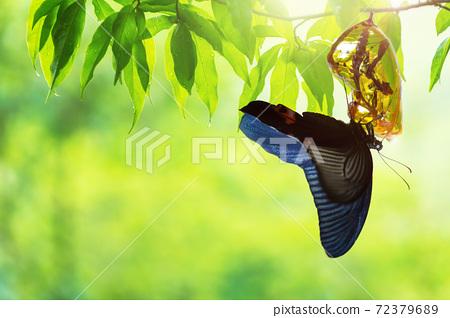 Butterfly change Chrysalis 72379689