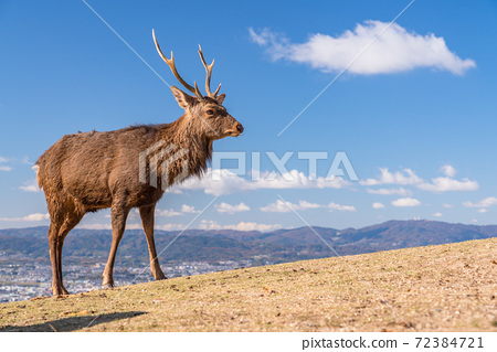 """""""나라현""""와카 쿠사 산의 사슴 아침 풍경 72384721"""
