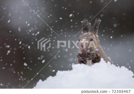 Ezoris在雪地裡吃核桃 72388467