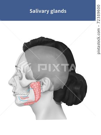 Salivary glands salivary glands anatomy 72389600
