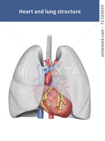 심장과 폐 해부학 72389609