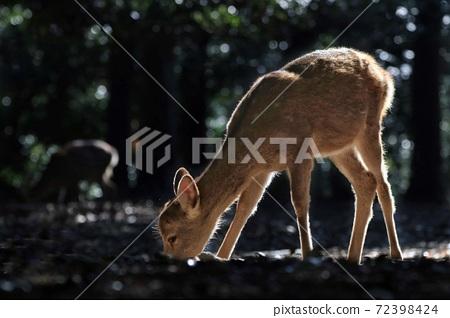鹿 奈良公園 動物 72398424